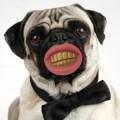 Le sourire dent en or pour chien