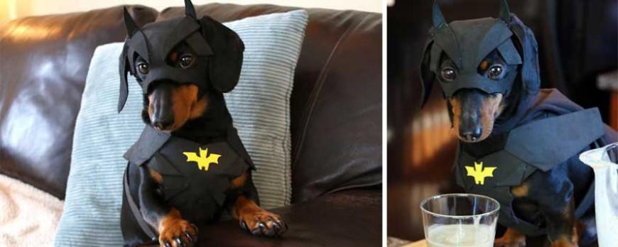Batdog Le Chien Super Héros Qui Se Prend Pour Batman Pigsou Mag